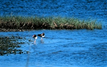 Grand Bay National Estuarine Research Reserve.Oyster catchers. 1995.