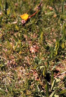 Waquoit Bay National Estuarine Research Reserve.Buttercup - Rannunculus bulbosus at Swift.