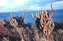 The Virgin Islands - tropical or desert?  Cactus on the north side of St. Croixlooking toward Buck Island Reef National Monument.
