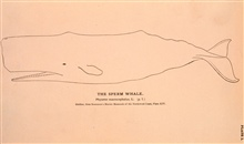 Plate 1.  The Sperm Whale.  Physeter Macrocephalus, L.