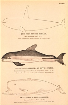 Plate 5.  The High-Finned Killer.  Orca rectipinnis, Cope.  The Skunk Porpoiseor Bay Porpoise.  Lagenorynchus gubernator, Cope (L. perspicillatus, Cope).
