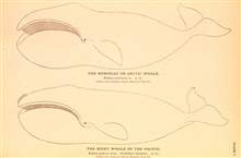 Plate 7.  The Bowhead or Arctic Whale.  Balaena mysticetus, L.The Right Whale of the Pacific.  Balaena japonica, Gray.  (Eubalaena cullamach.)