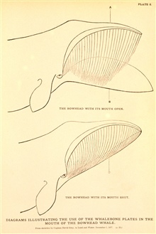 Plate 8.  Illustrating the use of the whalebone plates in the mouth of theBowhead Whale.