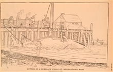 Plate 10.  Cutting in a Humpback Whale at Provincetown, Mass.