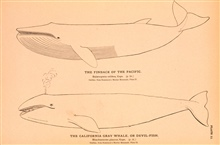 Plate 11.  The Finback of the Pacific.  Balaenoptera velifera, Cope.The California Gray Whale, or Devil-Fish.  Rhachianectes glaucus, Cope.