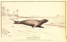 Plate 19.  The West Indian Seal.  Monachus tropicalis, Gray.