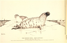Plate 20.  The Hooded Seal.  (Adult and young.)  Cystophora cristata (Erxl.),Nilss.