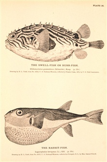Plate 36.  The Swell-fish or Burr-fish.  Chilomycterus geometricus(Schneider), Kaup.