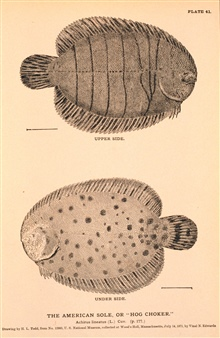 Plate 41.  The American Sole or Hog Choker.  Achirus lineatus, Cuv.