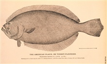 Plate 42.  The American Plaice or Turbot-Flounder.  Paralichthys dentatus, (L.),Jordan and Gilbert.