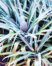 A pineapple plant with the fruit nearly ready to harvest