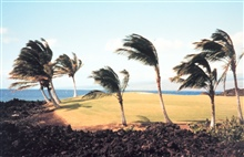 Golf course on the Kona coast.  Palm trees moulded by direction of prevailingtrade winds.