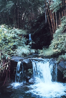 Waterfall surrounded by giant bamboo at  Hawaii Tropical Botanical Gardens