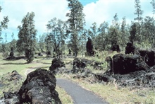 Lava trees formed when lava cools around tree trunksare quite tall.