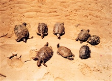 Mass mortality of young diamondback terrapins.  Probably drowned in fish traps.