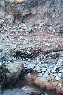 Eroded cliffs along the Tred Avon River reveal buried piles of oyster shells.