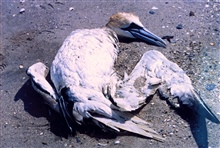 A Northern Gannet, somewhat north of its normal range,tangled in fishing line and drowned.
