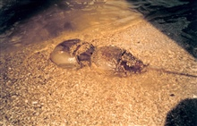 Mating pair of horseshoe crabs
