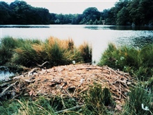 Mute swan nest.  Mute swans are an agressive invasive species alongthe East Coast.  There are now over 3,000 mute swans in the Maryland portionof the Chesapeake Bay.