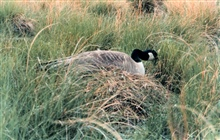 Female Canada goose setting on nest.  Trying desperately to stay out of sight.