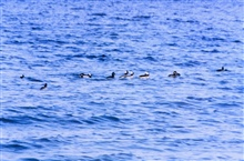 A flock of Buffleheads cruising the Patuxent River.