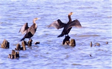 Cormorants drying their wings on old steamboat landing piles.
