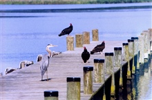 A Great Blue Heron and Turkey Vultures sharing a Patuxent River pier.
