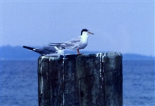Possibly Forster's Tern perched on a piling.