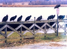 Turkey Vultures and Black Vultures taking a break from searching for carrion ona Patuxent River fence.