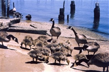 Resident Canada Geese - the ones who forget to fly home for the summer.Resident Canada Geese put additional stress on the Chesapeake Bay ecosystem.