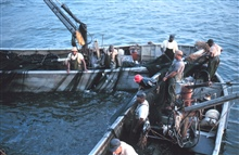 Menhaden fishing - closing the net and trapping the fish