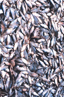 Menhaden fishing - menhaden in the hold of the mother vessel.  These fish areused for fertilizer and pet food.