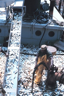 Menhaden fishing -off-loading the catch