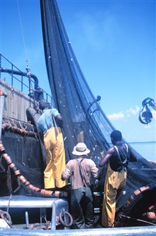 Menhaden fishing - drawing net tight for pumping fish aboard the mother vessel