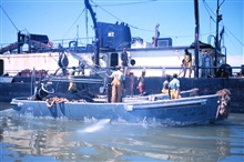 Menhaden fishing - pumping fish aboard the mother vessel