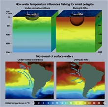 Normally an oceanographic phenomenon known as upwelling keeps the surfacewaters of the southeast Pacific Ocean cold and teeming with small pelagics thatare fished by purse seiners.  Upwelling occurs in this zone when southeasterlytrade winds , produc