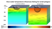 The result of changes of water temperature on fisheries is significant.  Aswater temperatures rise and nutrient levels decline, shoals of cold-water-loving small pelagics scatter and descend to depths of 150 to 200 meters, where theyare not accessibl