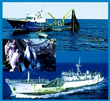 High seas fisheries: Ocean pelagic resources living near the surface are exploited by purse seiners and surface long-liners .  Top: Italian purse seinerfishing in the central Adriatic.  Middle: Bluefin tuna caught in the South Tyrrhenian by a purse s