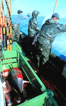 The live bait is thrown into the sprayed area to draw the tuna towards the boat.