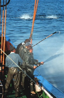Fishing for tuna using pole and line while using live bait.