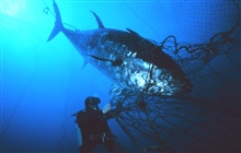 Tuna ensnared near the mouth of the fish trap. Depth 25 meters.This tuna weighed 270 kilograms (approximately 600 pounds.)