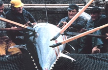 A large tuna is landed by a group of eight fishermen.