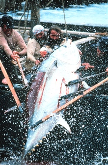 A 400 kilogram (880 pounds) tuna is landed by eight fishermen. This is adifficult and dangerous time when synchronized effort is required to land thetuna.  Poor timing can cause the poles to break and a fisherman to land in thewater. Some fishermen h