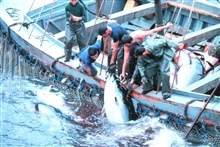 A large tuna is landed by fishermen working together.