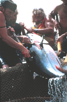 The tuna caught are small to medium in size, requiring just fourfishermen to land.