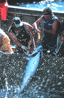 The small tuna are landed by two fishermen.