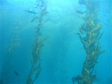 Fish in a kelp forest