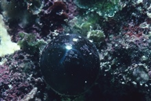 Bubble algae, Valonia ventricosa, at 1 meter on reef crest.
