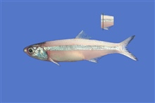 Broad-striped anchovy ( Anchoa hepsetus )