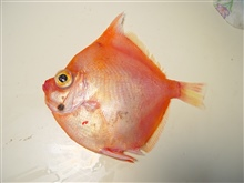 Adult boarfish ( Antigonia capros )